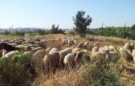 הכבשים מכות שנית: עדר של מאות כבשים כבש את מודיעין מכבים רעות