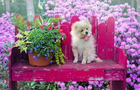 איך לבחור כלב פומרניין?